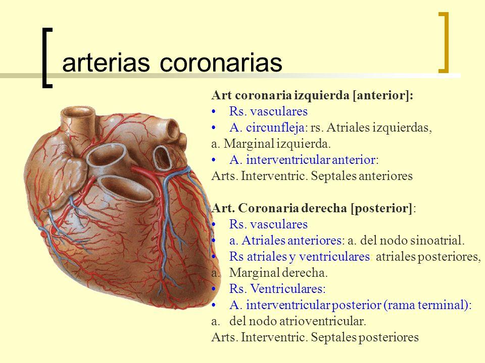 arterias coronarias Art coronaria izquierda [anterior]: Rs. vasculares